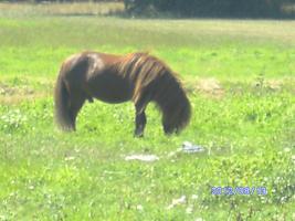 Foto 7 bildschöner ponyhengst