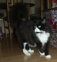 Foto 2 black white Maine Coon Kätzin 3 Jahre mit Stammbaum