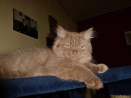Foto 2 blh highlander .Den letzten beissen die Hunde, Wunderschöne Highlander Kitten