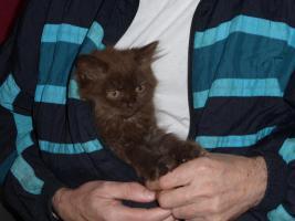 Foto 3 blh highlander .Den letzten beissen die Hunde, Wunderschöne Highlander Kitten