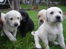 Foto 5 blonde und schwarze Labradorwelpen