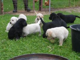 Foto 6 blonde und schwarze Labradorwelpen