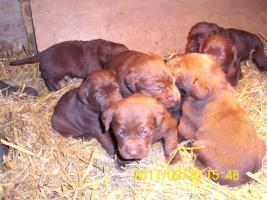 Foto 3 braune Labradorwelpen