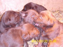 Foto 4 braune Labradorwelpen