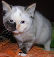 bunte BKH Katze mit blauen Augen