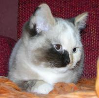 Foto 2 bunte BKH Katze mit blauen Augen
