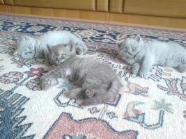 Foto 2 chinchila-Perser vs. Britischkurzhaar kitten