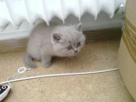 Foto 3 chinchila-Perser vs. Britischkurzhaar kitten