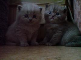 Foto 4 chinchila-Perser vs. Britischkurzhaar kitten