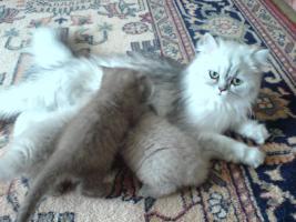 Foto 5 chinchila-Perser vs. Britischkurzhaar kitten