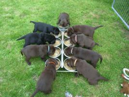Foto 2 chocolate Labrador Retriever Welpen mit Papieren