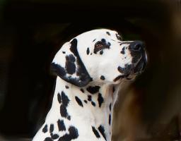 Foto 6 dalmatiner