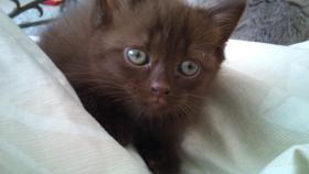 der süsseste BKH Kitten Chocolate
