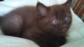 Foto 2 der süsseste BKH Kitten Chocolate