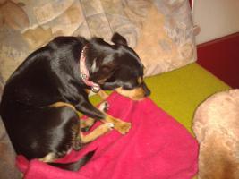 Foto 2 einen kleinen hund chihuahua