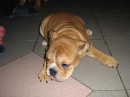 Foto 2 englisch bulldog welpen