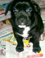 Foto 2 englischbulldog -schnauzer mix 3 rüden und 1 mädchen