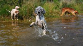english setter welpe cederic