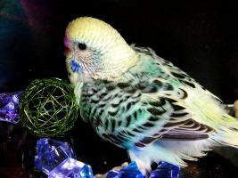 Foto 2 farbenfrohe, nestjunge Wellensittich-Küken