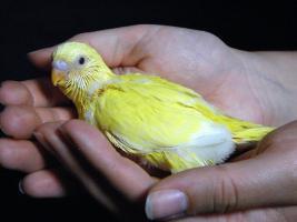 Foto 4 farbenfrohe, nestjunge Wellensittich-Küken