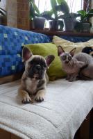 Foto 3 franz-bulldoggen Welpen