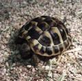 gebe 2 griechische landschildkröten ab, jungtiere