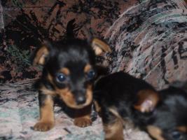 Foto 3 gebe ab mitte februar 5 kleine mischlingshunde ab.
