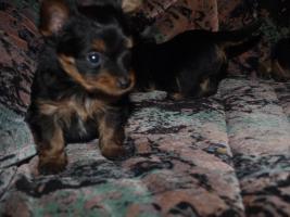 Foto 6 gebe ab mitte februar 5 kleine mischlingshunde ab.