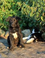 glückliche Welpen - Retriever/Labrador