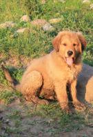 Foto 3 glückliche Welpen - Retriever/Labrador