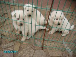 Foto 2 grünes leguanpaar