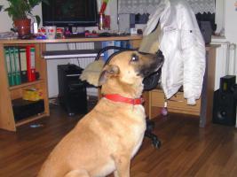 Foto 2 ich bitte ein wunder schön hundt an schäfferhun mix