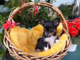 ich heiße Obelix und bin ein kleiner Chihuahua-Welpe