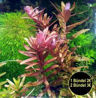 indische Rotala, Aquariumpflanzen, Versand