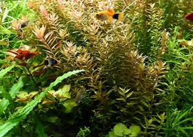 Foto 2 indische Rotala, Aquariumpflanzen, Versand