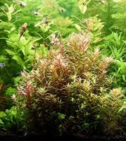 Foto 3 indische Rotala, Aquariumpflanzen, Versand