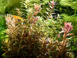 Foto 4 indische Rotala, Aquariumpflanzen, Versand