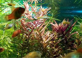Foto 6 indische Rotala, Aquariumpflanzen, Versand