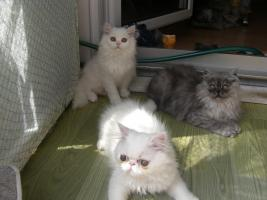 Foto 3 junge Hübsche Perserkätzchen