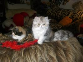 Foto 4 junge Hübsche Perserkätzchen
