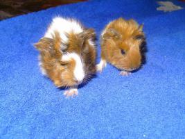 junge Rosettenmeerschweinchen suchen ab Mitte August ein Zuhause