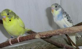 Foto 3 junge Wellensittiche