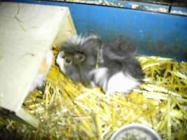 Foto 2 junge meerschweinchen m+w Lunkaryamixe