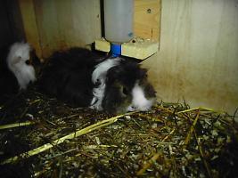 Foto 3 junge meerschweinchen m+w Lunkaryamixe