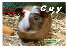 Foto 3 junge peruanische Riesenmeerschweinchen ( CUY )