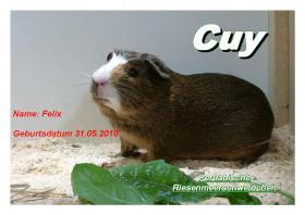 Foto 4 junge peruanische Riesenmeerschweinchen ( CUY )