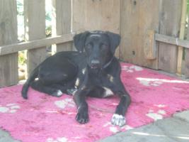 junge, lernwillige Labrador-Mischlingshündin