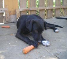 Foto 2 junge, lernwillige Labrador-Mischlingshündin