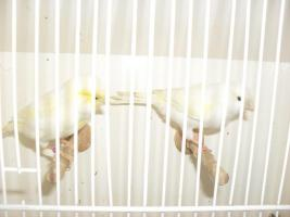 Foto 2 kanarienvögel und wellensittiche