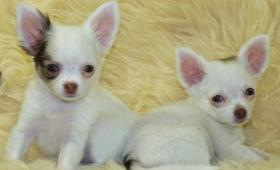 Foto 3 kleine Chihuahua-Langhaar Babys